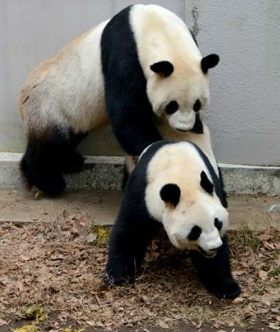 Giant pandas are notoriously clumsy at mating, with males said to be bad at determining when a female is in the right frame of m