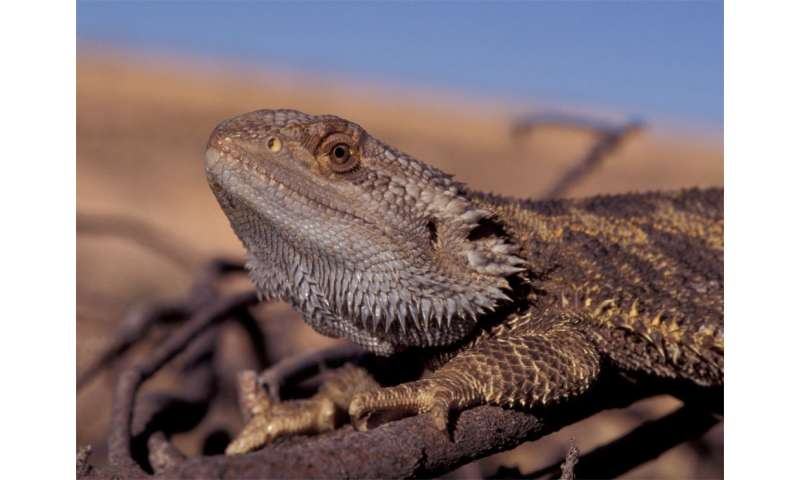 Girls will be boys: Sex reversal in dragon lizards