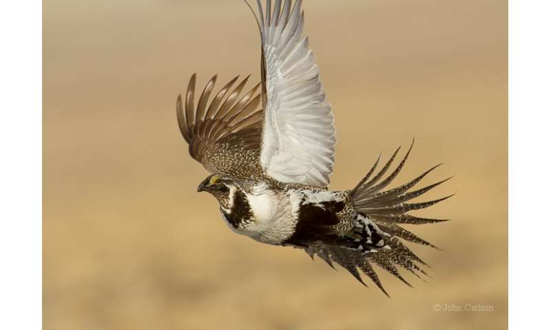 Greater sage-grouse more mobile than previously suspected
