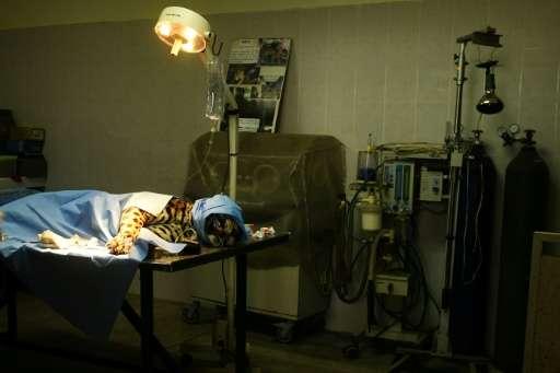 Greco, El Salvador's last male jaguar, undergoes surgery at the National Zoo
