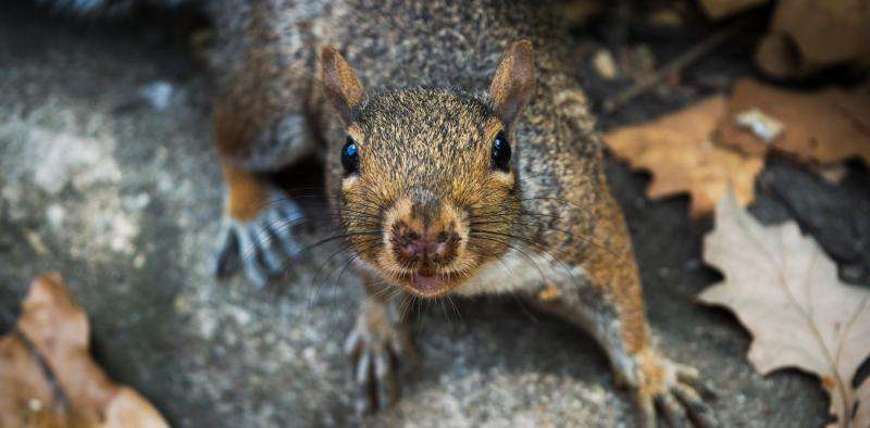 Grey squirrels are bad for the British countryside