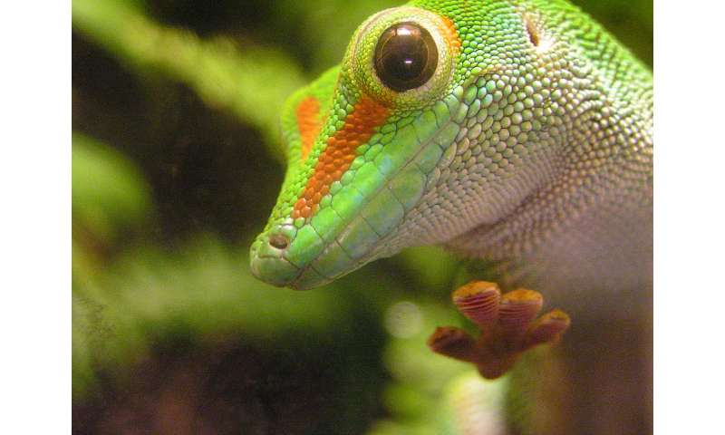 Gripping geckos' aerial escapes test their limits [rejected]