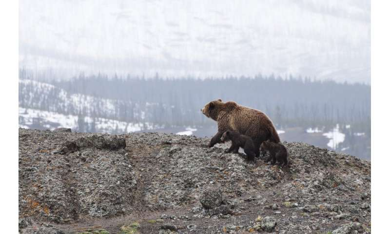 Grizzlies show no clinical signs of disease following short-term consumption of saturated fats but scientists ...