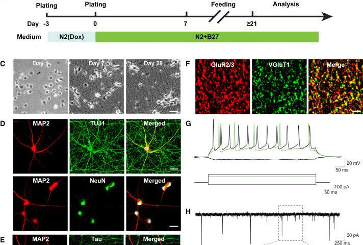 Growing human brain cells in the lab