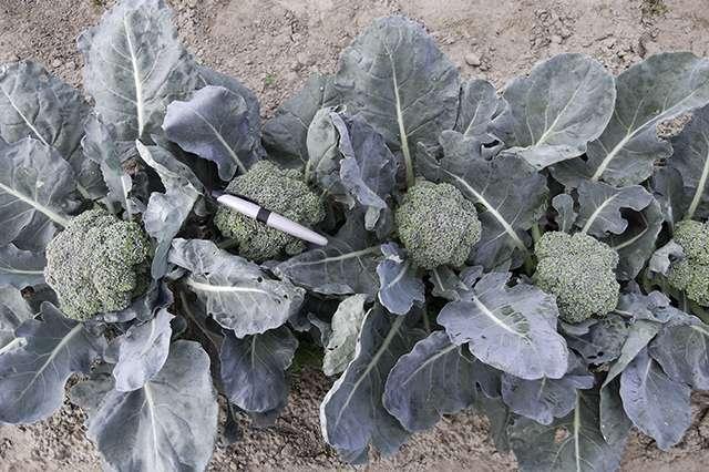 Heat-tolerant broccoli for the future