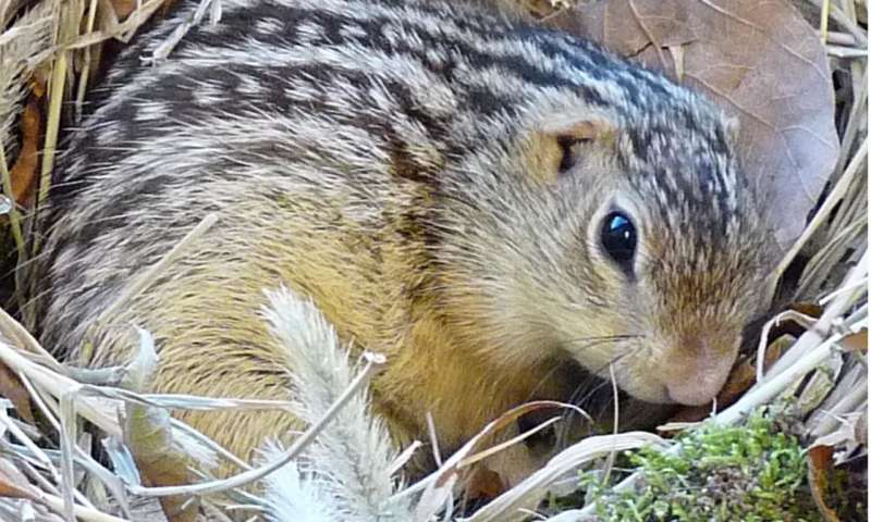 hibernating squirrels and hamsters evolved to feel less