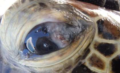 High metal levels found in Queensland turtle blood