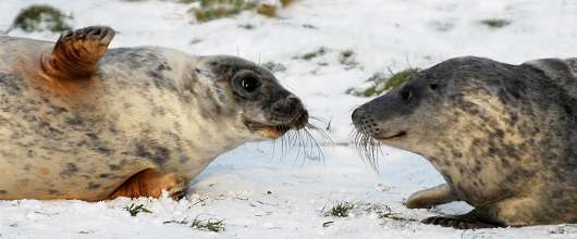 Hormone boost makes wild seals spend more time with each other