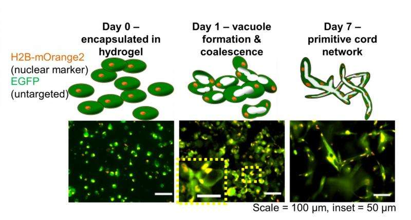 Houston team one step closer to growing capillaries
