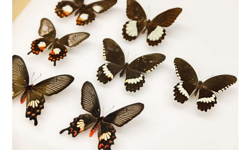 How a 'flipped' gene helped butterflies evolve mimicry