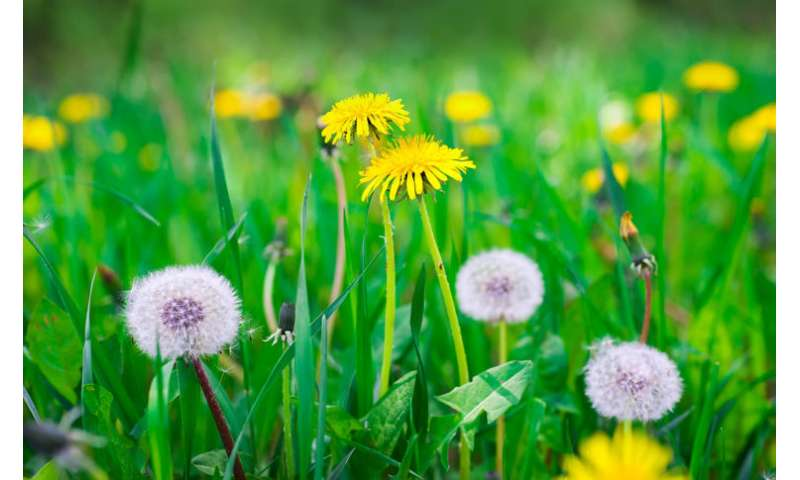 How dandelion seeds act as a perfect pipette in the lab