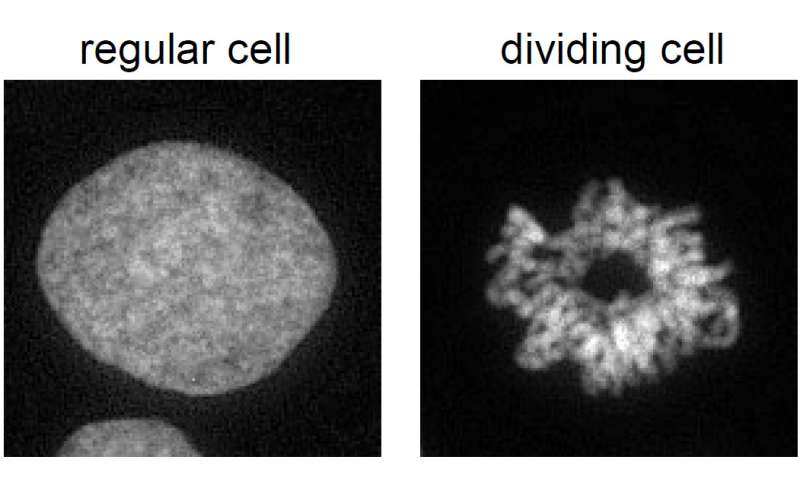 How does a cell maintain its identity during replication?