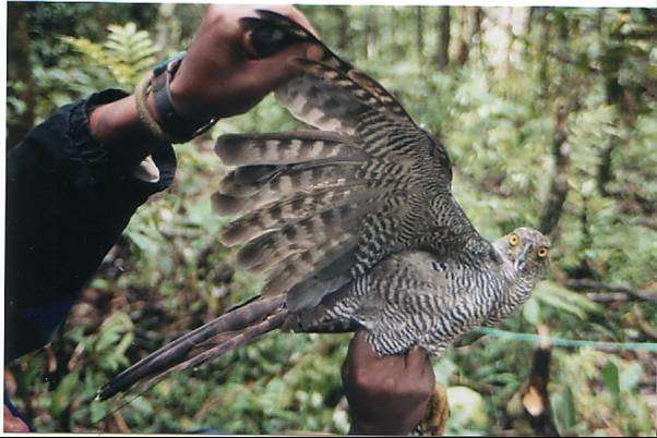 How do you track a secretive hawk? Follow the isotopes