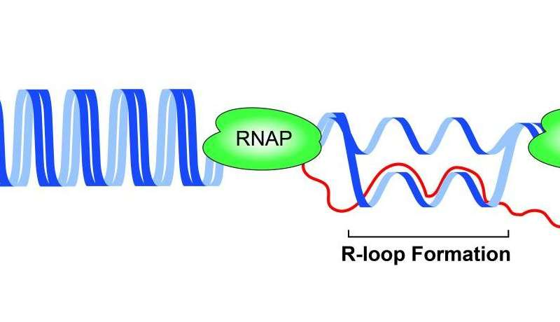 How head-on collisions of DNA protein machines stop replication