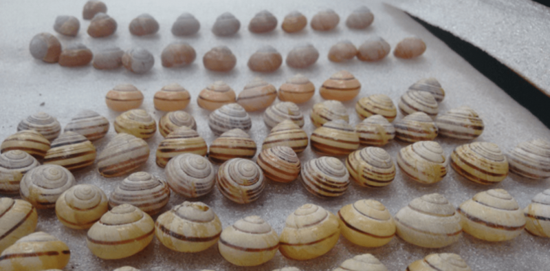 How I showed that snails use their shells to trap and kill parasites