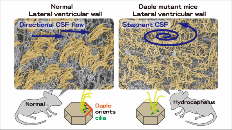 How whip-like cell appendages promote bodily fluid flow