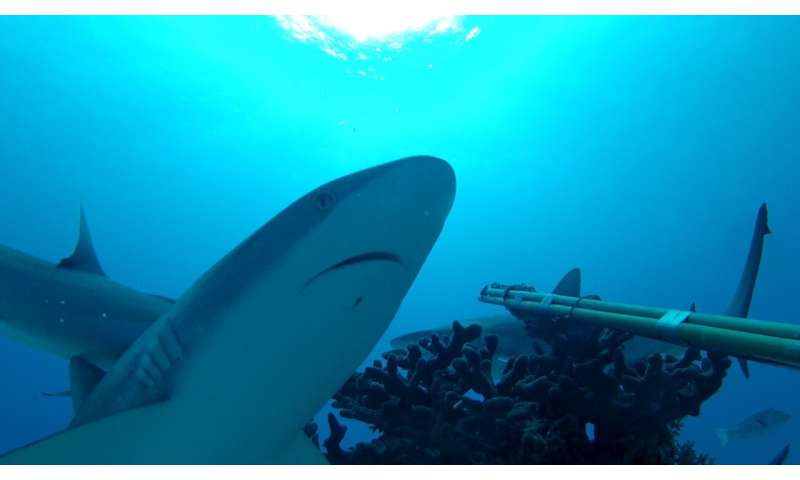 Humans: the disturbing neighbours of reef sharks