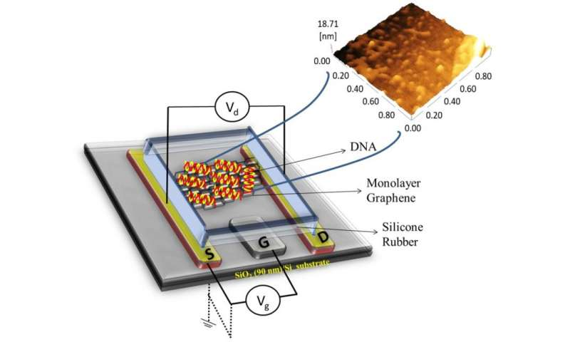 Graphene Improves DNA-detecting Transistors - Featured Graphene Medical Optoelectronics Sensors
