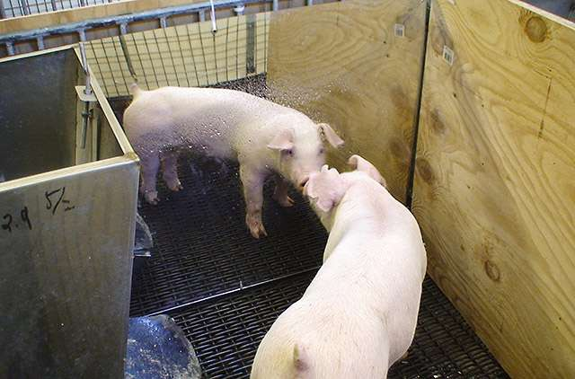 Improving pig accommodations with mirrors