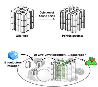 In-cell molecular sieve from protein crystal