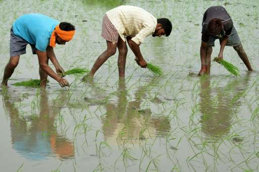 Indian farmers plant paddy seedlings in a rice field on the outskirts of Amritsar