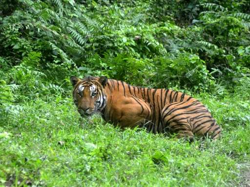 """In India, attempts have been made to hack the GPS collars on endangered Bengal tigers in a case of """"cyber poaching"""""""