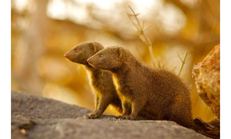 In mongoose society, immigrants are a bonus -- when given time to settle in