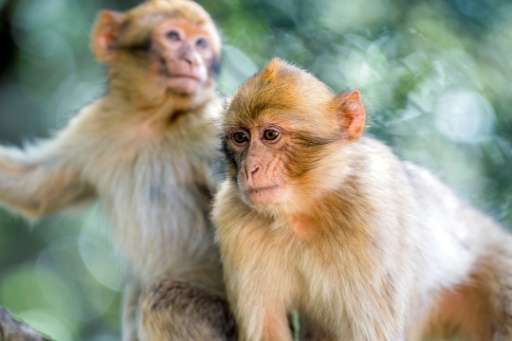 In October, the Barbary macaque was listed as a species threatened with extinction on the Convention on International Trade in E