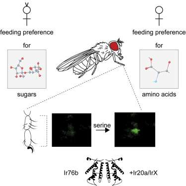 Researchers identify receptor that has key role in umami or amino