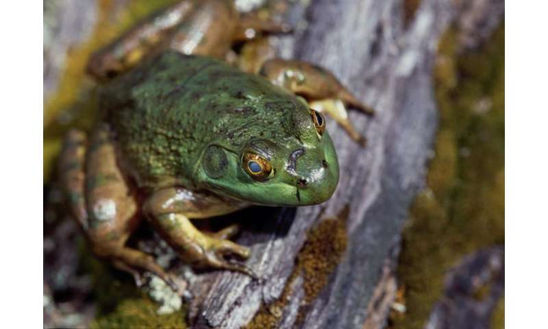 In the egg, American bullfrogs learn how to avoid becoming lunch