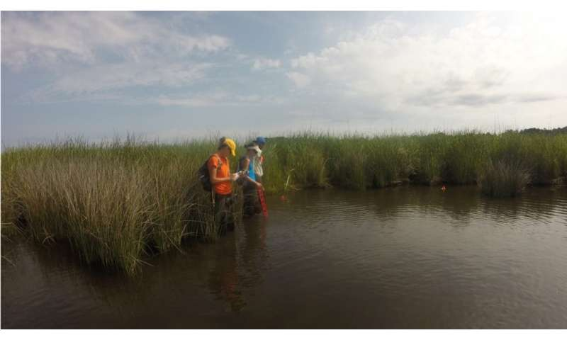 Invasive and native marsh grasses may provide similar benefits to protected wetlands