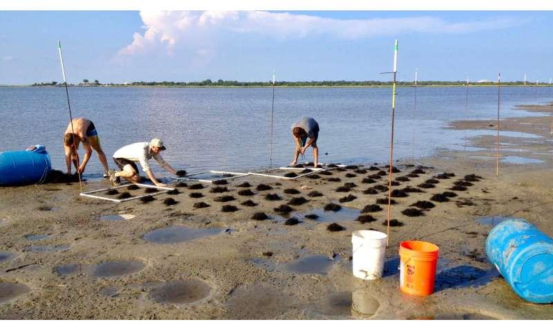 Invasive plant species can enhance coastal ecosystems