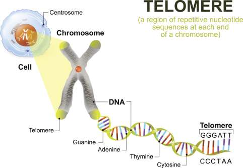 telomerase research paper The nobel prize in physiology or medicine greider's group showed that the senescence of human cells is also delayed by telomerase research in this area has.