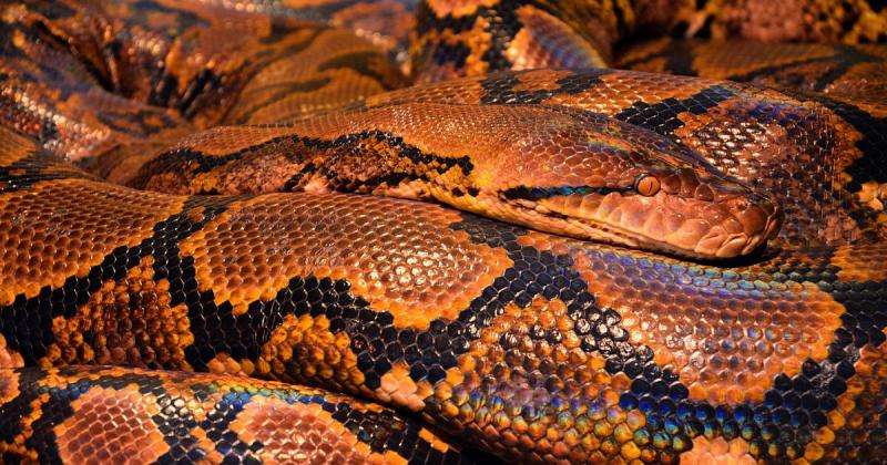 Jaw-dropping—so how does a snake eat a man?