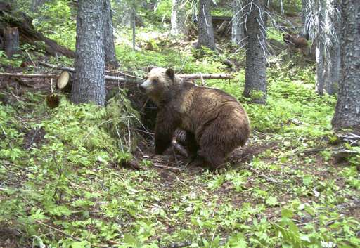 Judge: Bears near US-Canada border merit endangered status