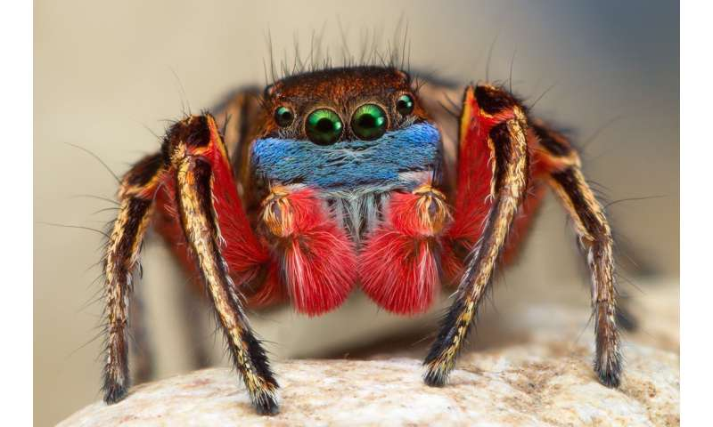 Jumping spiders court in color