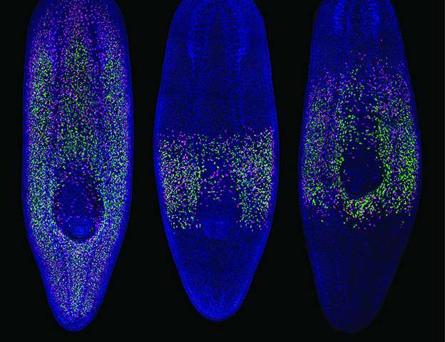 Keeping moving -- flat worms shed light on role of migrating stem cells in cancer