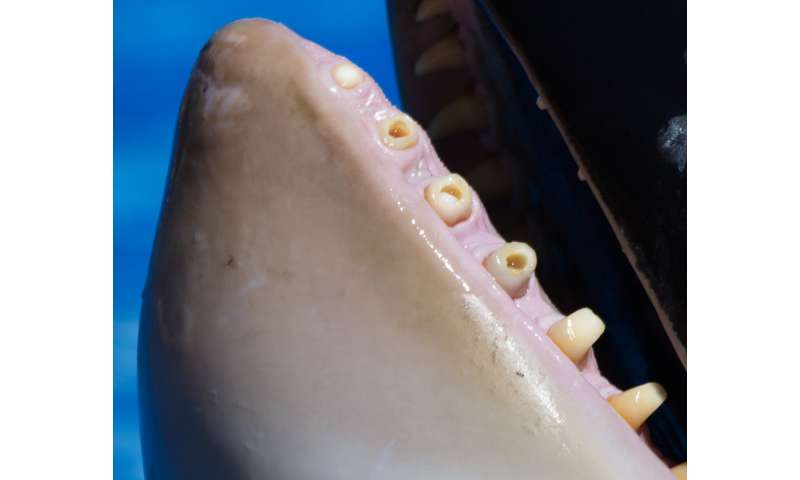 'Killer' toothaches likely cause misery for captive orca