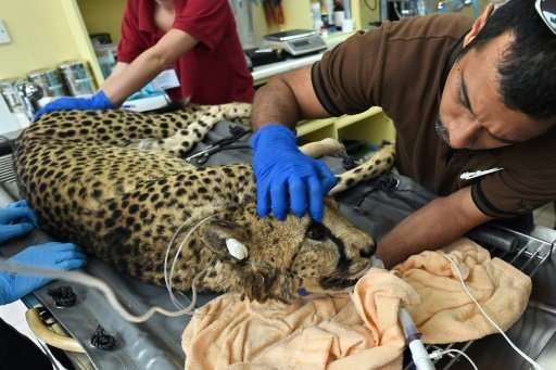 Kima the cheetah lies unconscious on an operating table at Singapore Zoo while blood samples are taken and a monitor beeps in th