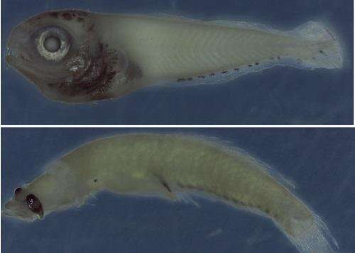 Knowledge of larval fish just a drop in the ocean