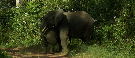 Liberia takes a major step forward in protecting its elephants