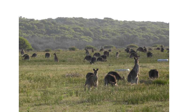 Living at home the best survival strategy for young kangaroos