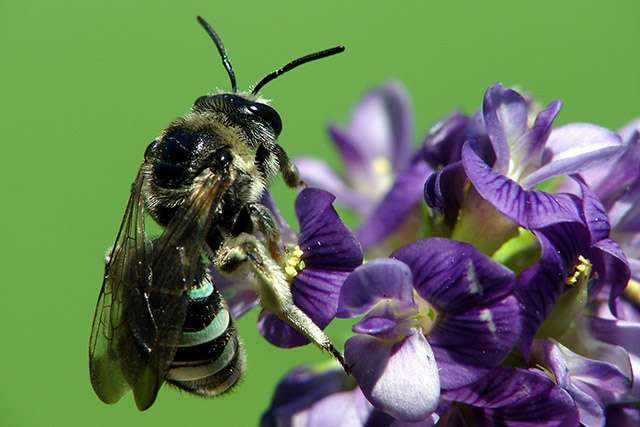 Making the bed just right for alkali bees