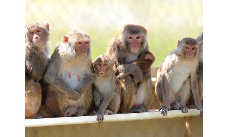 Male contraceptive gel in monkeys shows potential as an alternative to vasectomy
