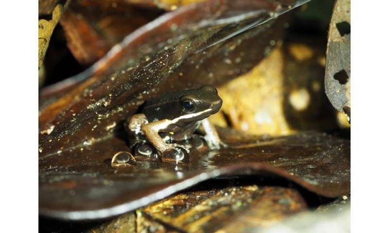 Male poison frogs become cannibals after taking over territories