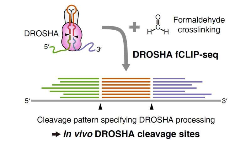 Mapping DROSHA's cleavage sites