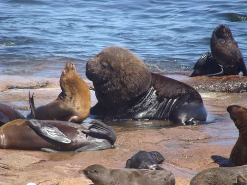 Massive sea lion and fur seal hunting in the Patagonian coasts is altering Southern Atlantic Ocean ecosystems