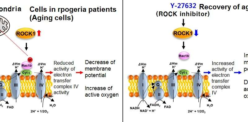 Mechanism of aging recovery for progeria patients revealed