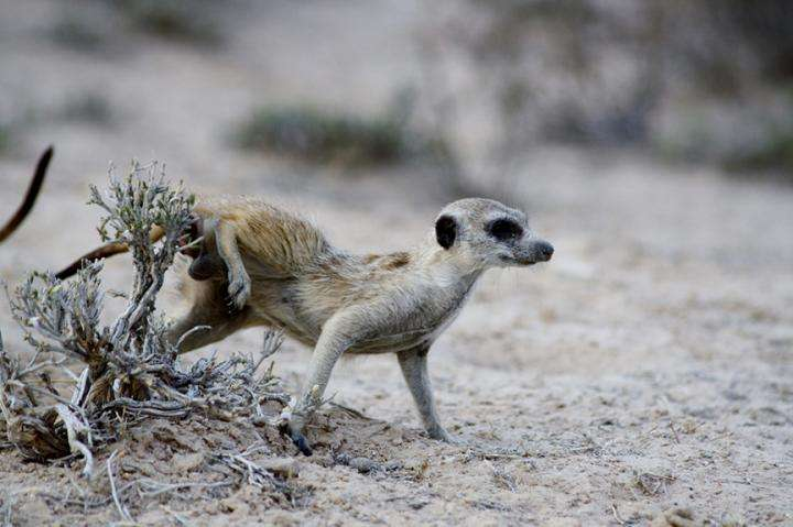 Microbes give meerkat gangs their signature scents
