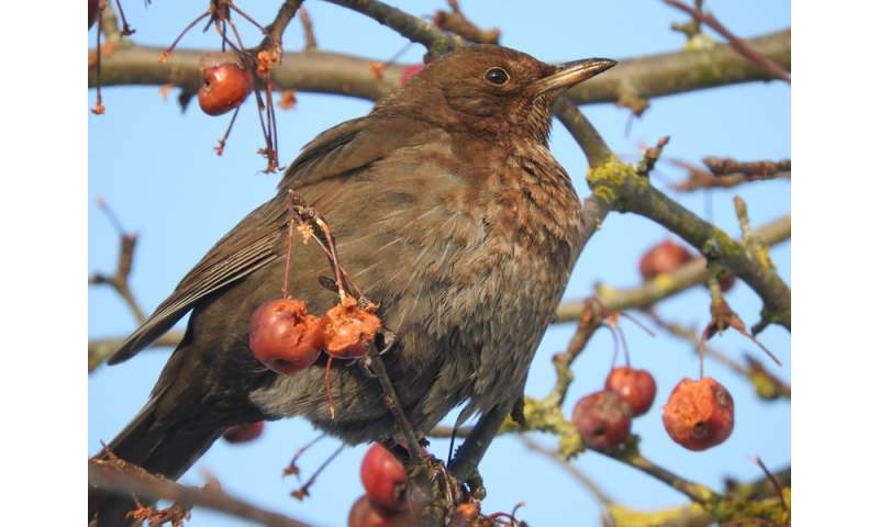 Migration pays off for songbirds